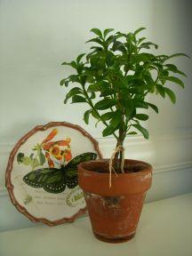Sams topiary 002